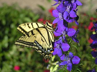 swallowtail-side-view-small.jpg